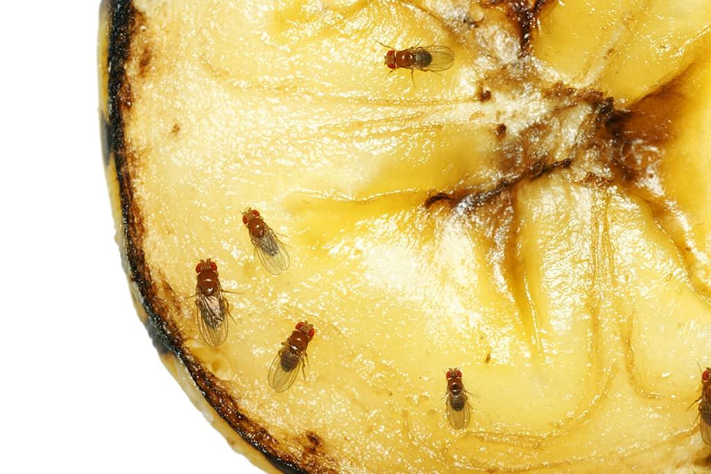 Bananfluer