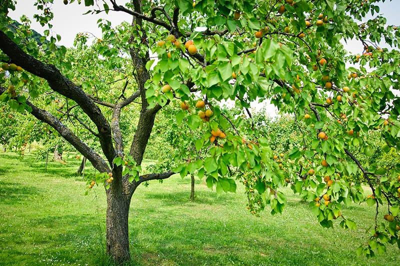 Abrikostræ